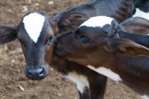 Produtores rurais têm até 30 de junho para vacinar rebanho contra a brucelose